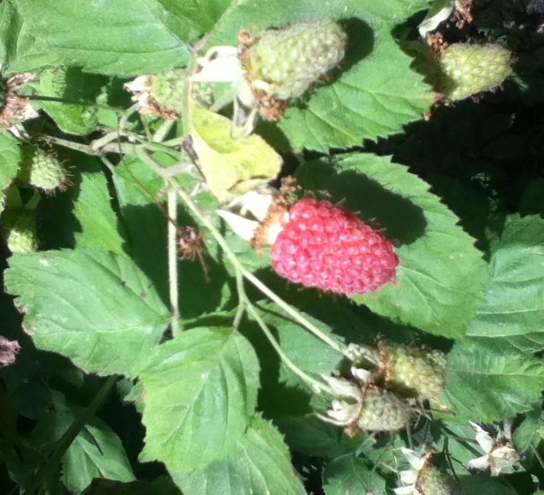 berries-June2015-small
