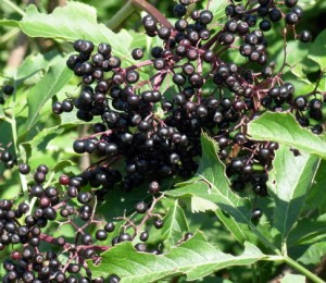 elderberries - small